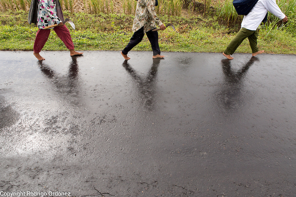 After a light morning rain, Suparjiyem, 49 (first from right), and two other members of her organization walk through Wareng, Wonosari subdistrict, Gunung Kidul district, Yogyakarta Special Region, Indonesia. They are headed to the village's rice paddies, where they will join fellow farmers to collectively harvest each other's rice.