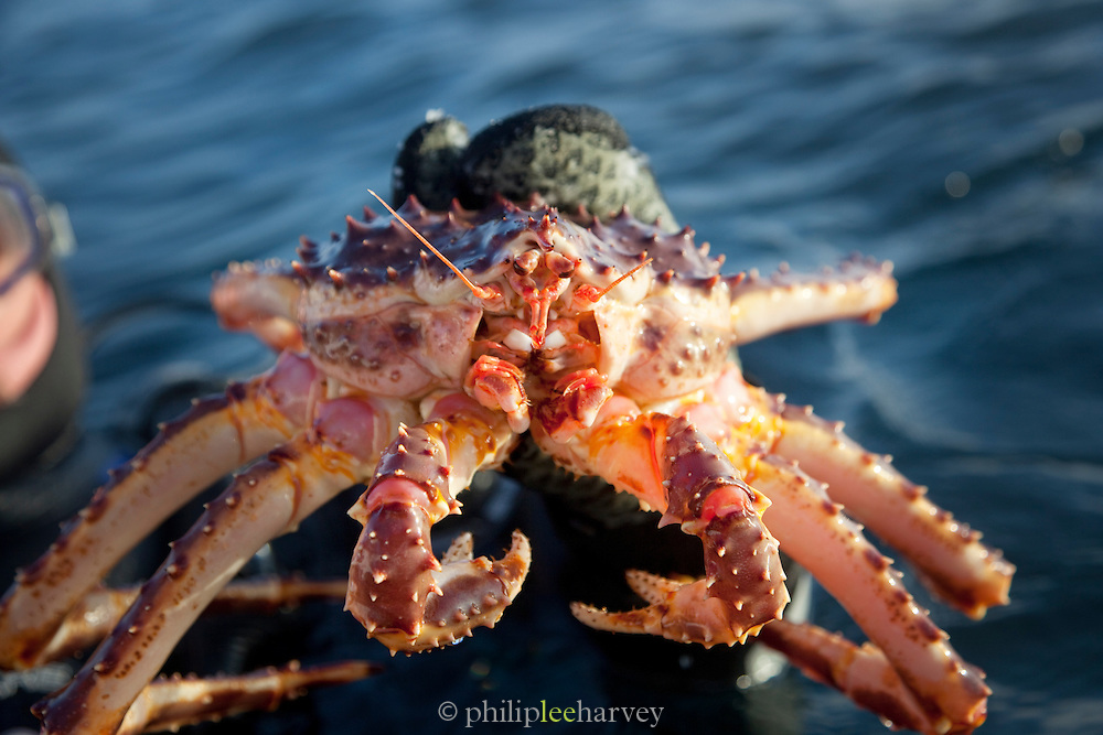 A diver swims on the surface holding a King Crab in his hands, at a lake in Jarfjord near Kirkeness, Finnmark region, northern Norway