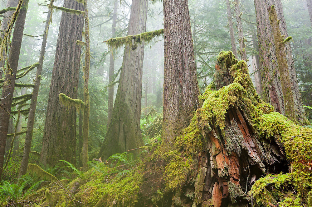 Morning mist envelopes an old growth stand of Western redcedar (Thuja plicata) and coast Douglas-fir (Pseudotsuga menziesii) along Cascade River Road, Mount Baker-Snoqualmie National Forest, Washington.