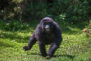 A sub-adult mountain gorilla (Gorilla beringei beringei) charging through the forest, Parc de Volcanos, Rwanda, Africa