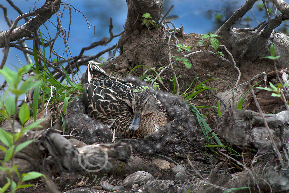 Mother duck on her carefully made nest.