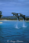 bottlenose dolphins, Tursiops truncatus, (c) <br /> Sea Life Park, Oahu,<br /> Hawaii, USA ( Pacific )