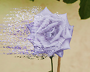 Digitally enhanced image of a perfect purple rose head disintegrating
