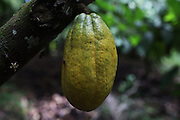 Cocoa pod. COCABO: Junquito, Almirante, Changuinola, Bocas del Toro, Panamá. September 1, 2012.