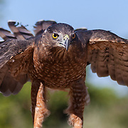 A Cooper's Hawk (Accipiter cooperii) at Wildlife Rescue, Inc. of New Mexico (wrinm.org)