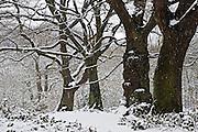 Snow covered trees on Hampstead Heath, North London, United Kingdom