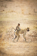 Baboons, mother and baby, Luangwa River Valley, Zambia, Africa