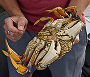 Crab, Bellingham Bay, WA