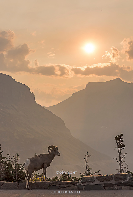 A young, male Bighorn Sheep at Logan Pass in Glacier National Park