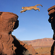 Mountain Lion jumping a crevasse in red rock country near Moab, Utah. Captive Animal