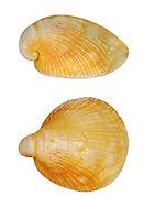 Hungarian Cap Shell - Capulus ungaricus