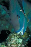 stoplight parrotfish, Sparisoma viride (terminal male phase )<br /> scrapes algae off of dead coral with beak-like fused teeth<br /> Grand Cayman Island ( Caribbean Sea )