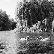 White Swan Family - Regents Park - London, UK - Black & White