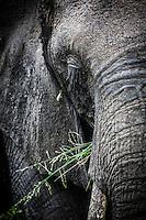Wild African elephant close up, Kruger National park, South Africa.