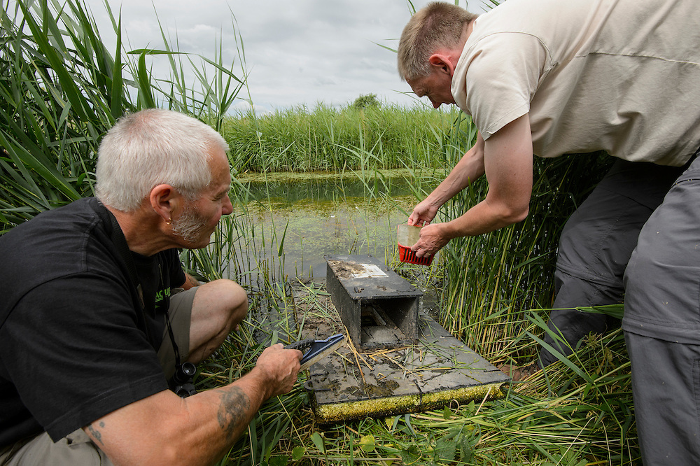 Water Vole (Arvicola amphibius), Kent, UK. Ian Parker and John Young, volunteers on Kent Wildlife Trust Water Vole Recovery Project, survey for American mink using floating rafts. North Kent Marshes, UK.