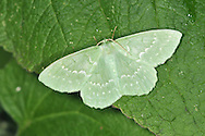 Large Emerald Geometra papilionaria Wingspan 42mm. An extremely colourful moth. Adult, when freshly emerged, has bright green wings with white spots and lines. Flies July–August. Larva feeds mainly on birches but also on Hazel. Widespread but commonest in southern and central Britain.