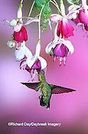 01162-069.14 Ruby-throated Hummingbird (Archilochus colubris) female at Hybrid Fuchsia (Fuchsia)  Shelby Co.  IL