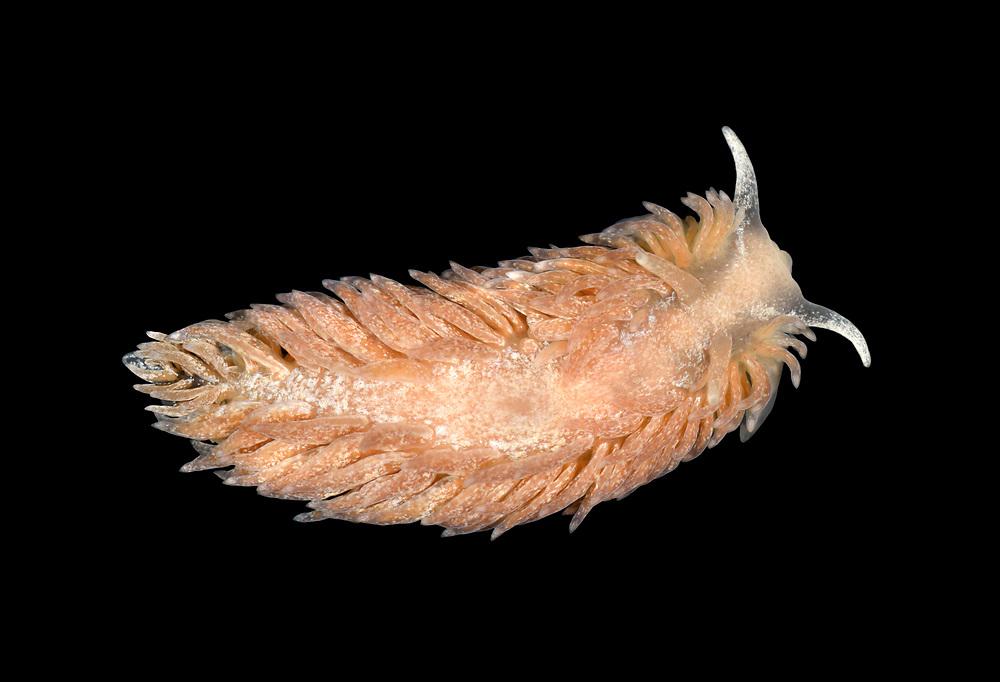 Aeolidiella glauca - a nudibranch sea slug