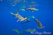 schooling female scalloped hammerhead sharks, Sphyrna lewini, Endangered Species, off Keauhou, South Kona, Big Island, Hawaii, USA ( Central Pacific Ocean )