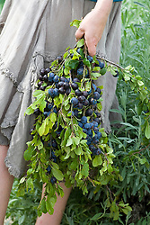 Hand holding freshly picked sloes