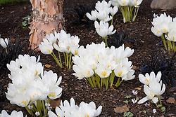 Colchicum speciosum album planted with Ophiopogon planiscapus 'Nigrescens'. Design: John Massey