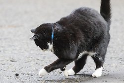 Downing Street, London, February 17th 2017. Palmerston the Foreign Office cat plays with a rubber seal outside 10 Downing Street.