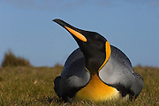 King Penguin (Aptenodytes p. patagonica) lying down near colony.<br /> Volunteer Point, Johnson's Harbour, East Falkland Island. FALKLAND ISLANDS.<br /> RANGE: Circumpolar, breeding on Subantarctic Islands. Extensive colonies found in South Georgia, Marion, Crozet, Kerguelen and Macquarie Islands. The Falklands represent its most northerly range. They are highly gregarious which probably accounts for it common association with colonies of Gentoo Penguins.<br /> King Penguins are the largest and most colourful penguins found in the Falklands. They have a unique breeding cycle. The incubation of one egg lasts for 54-55 days and chick rearing 11-12 months. As the complete cycle takes more than one year a pair will generally only breed twice in three years.