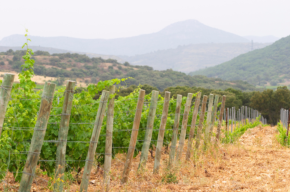 Prieure de St Jean de Bebian. Pezenas region. Languedoc. Young Roussanne vines in calcareous soil in the area of Frigolas. France. Europe. Vineyard. Mountains in the background. Calcareous limestone.