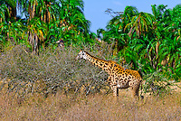 Giraffe, Serengeti National Park, Tanzania