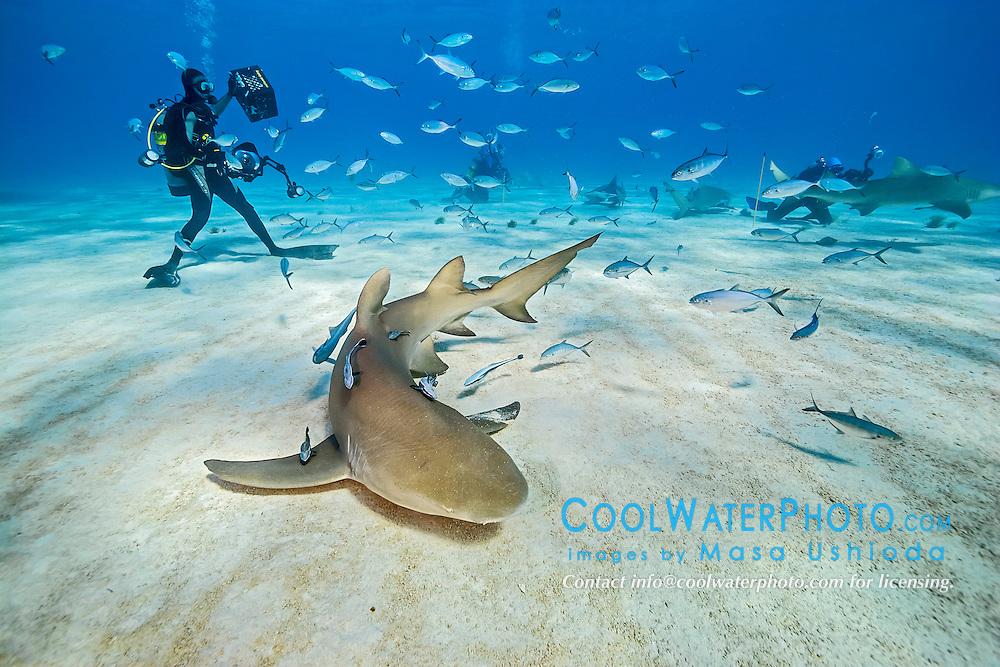 lemon sharks, Negaprion brevirostris, and scuba divers, Grand Bahama, Bahamas, Caribbean Sea, Atlantic Ocean