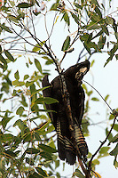 red-tailed black-cockatoo, female