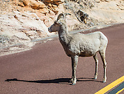 A desert bighorn sheep (Ovis canadensis nelsoni) crosses the road in Zion National Park, Utah, USA.