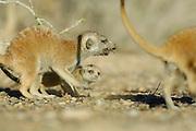 Die kleinen Erdmännchen (Suricata suricatta) sind mit zwei Monaten zwar schon außerhalb der Höhlen aktiv, können aber noch nicht selbständig Beute fangen. Sie sind auf sogenannte Helfer angewiesen, halbwüchsige oder erwachsene Tiere der Gruppe ohne eigenen Nachwuchs, die Insekten, Spinnen, Reptilien oder wie hier Skorpione für sie erbeuten.    Suricate or Slender-tailed Meerkat (Suricata suricatta)