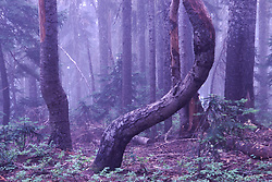 Curved Tree in Mist on Strawberry Mountain, Mt. St. Helens National Volcanic Monument, Washington, US