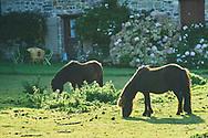 Abaye maritime de Beauport. Km 0. The Way of Saint James.<br /> <br /> Two Shetland Ponnys grazing on a farm near the Abbey of Beauport<br /> <br /> Abadia de Beauport. Kilometro 0 del Camino de Santiago (Frances)<br /> Dos Ponnys de Shetland pastando en una granja en las inmediaciones de la Abadia de Beauport