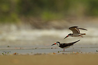 A Black Skimmer (Rynchops niger) standing at the water's edge with other skimmers flying behind in the Orinoco River Delta, Venezuela.