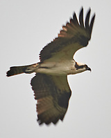 Osprey (Pandion haliaetus). Images taken with a Nikon D810a camera and 80-400 mm VR lens.