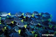 yellowtail surgeonfish, Prionurus laticlavius, Galapagos Islands, Ecuador,  ( Eastern Pacific )