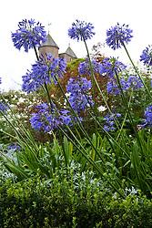 Agapanthus 'Loch Hope' at Sissinghurst Castle Garden