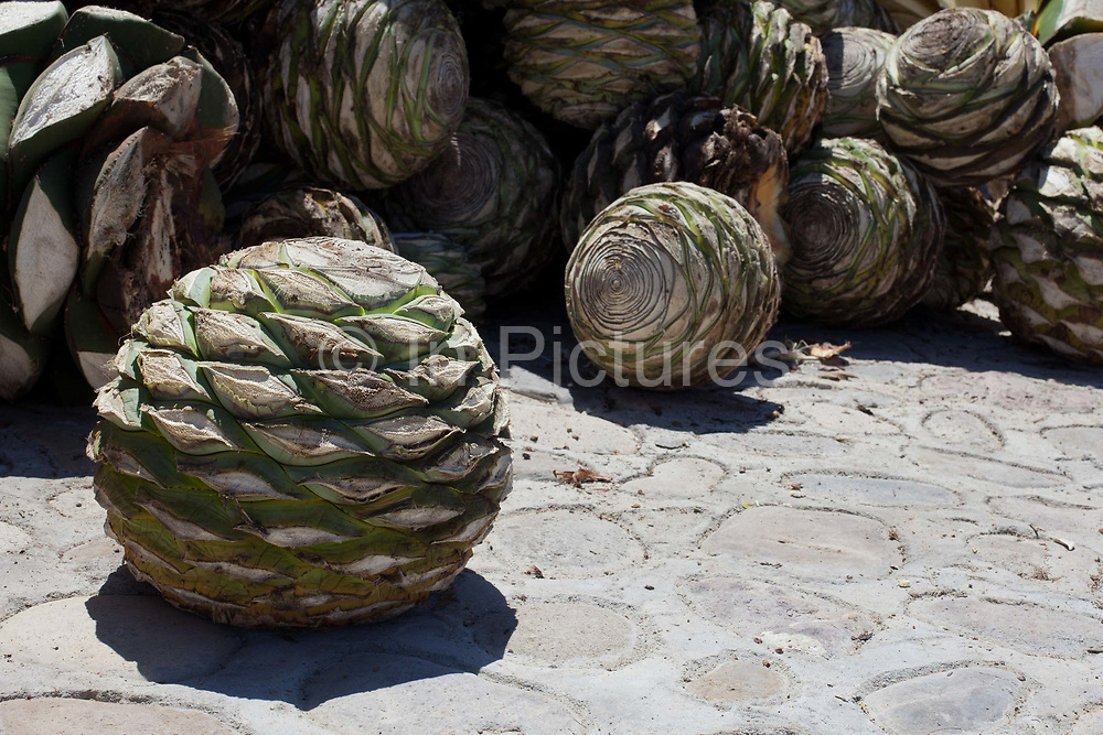 When the agave cactus is harvested, it is cut into pineapples before being crushed for fermentation. Oaxaca in southern Mexico is known for being the main producer of Mescal, the drink of which Tequila is a type. The Mescal route around the area of Mitla has dozens of artisan distilleries which can be visited to take part in Mescal tasting sessions and to see how they cut the agave cactus and make the drink in the traditional way.