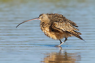 Long billed Curlew - Numenius americanus