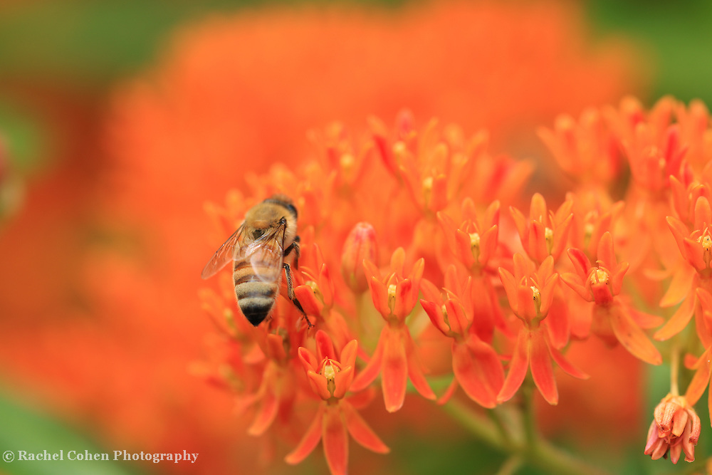 """""""Butterfly Weed Love""""<br /> <br /> Lovely orange Butterfly Weed with a bee on top!"""