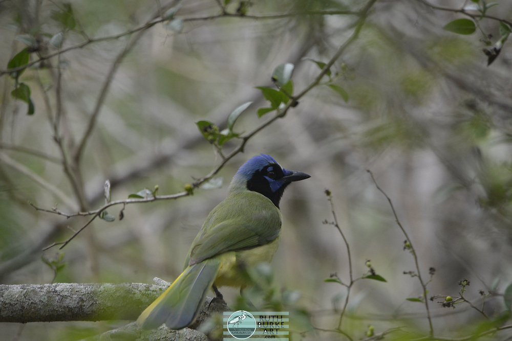 Rare birds of South Texas in Spring Green Jay, a migratory bird at the  Laguna Atascosa National Wildlife Refuge in south Texas