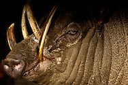 Deu, Deutschland: Hirscheber (Babyrousa), Portraet, close-up, lange Hauer, Zoo Krefeld, Nordrhein-Westfalen | DEU, Germany: Babirusa (Babyrousa), portrait, close-up, long tusks, Zoo Krefeld, North Rhine-Westphalia