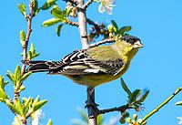 Male Lesser Goldfinch, Carduelis psaltria, perches in a plum tree in Berkeley, California