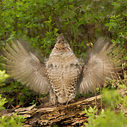 Ruffed Grouse (Bonasa umbellus) drumming on a log in an Aspen grove during the spring. Montana