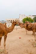 Camels. Scenes of Doha, Qatar.