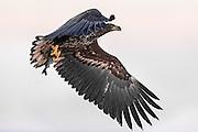 White-tailed eagle flying with a fish in it's claws | Havørn flyr med en fisk i klørne.