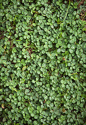 Clover growing in lawn. Trifolium spp.