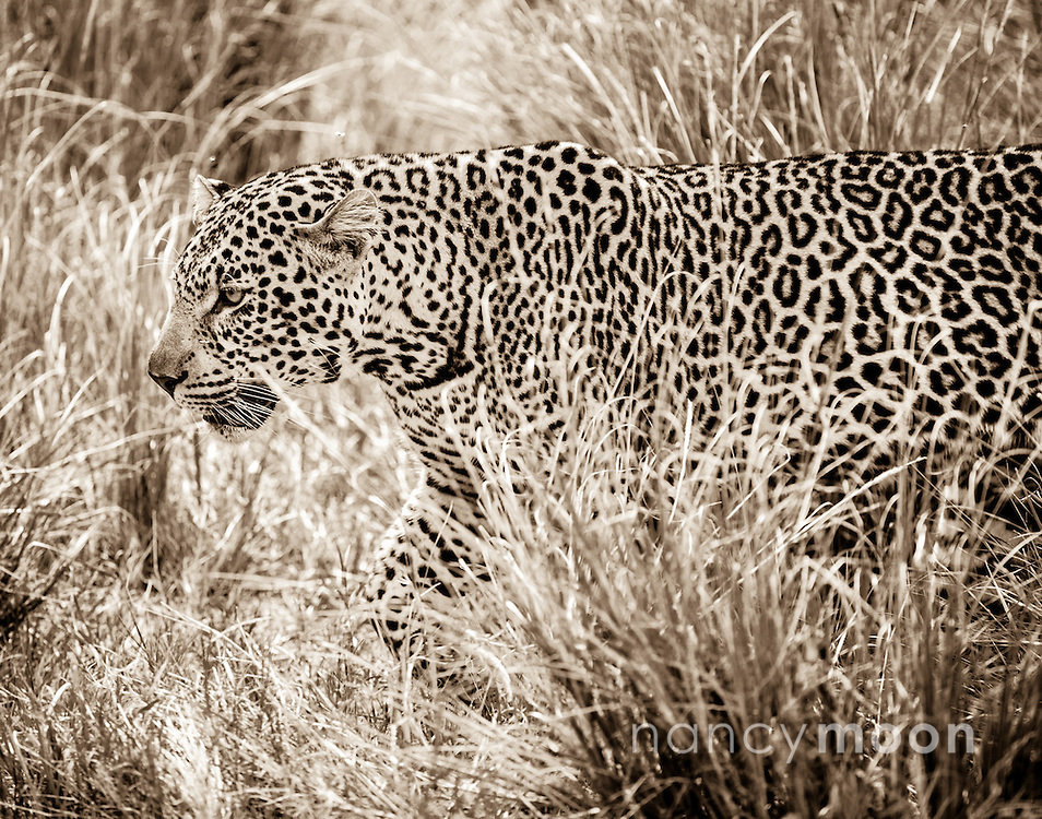 """Leopard walking through the high grass in the Masai Mara located in Africa.<br /> <br /> For all details about sizes, paper and pricing starting at $85, click """"Add to Cart"""" below."""